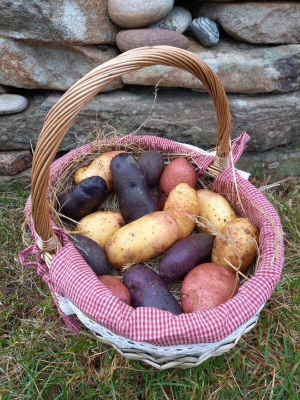 Picture of potato varieties