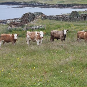 Picture of beef cows