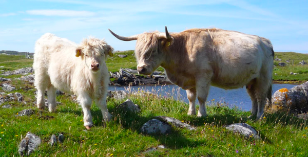 Picture of two cows