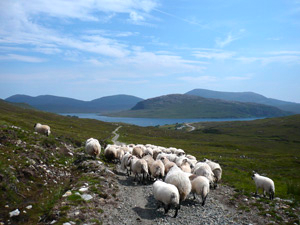 Picture of flock of sheep