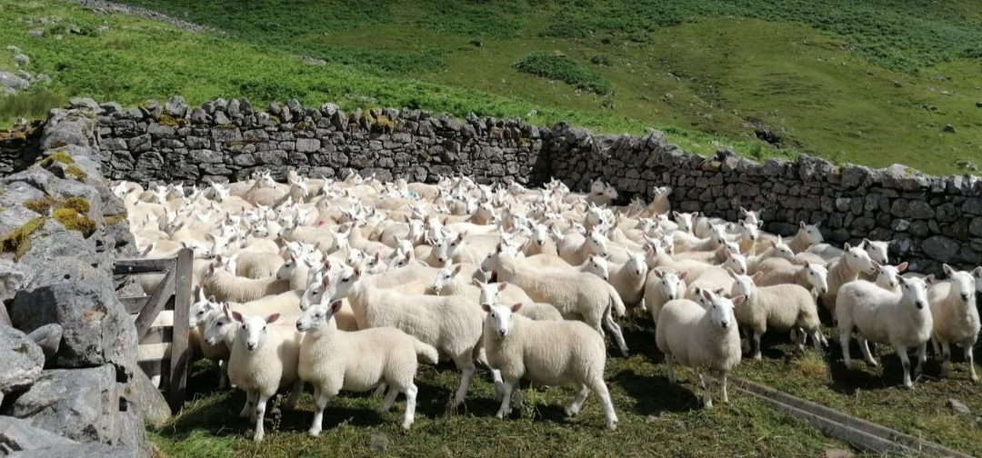 Scottish sheep producers call on government to come clean